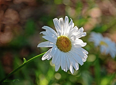 Photograph - Daisy Morning by Linda Brown