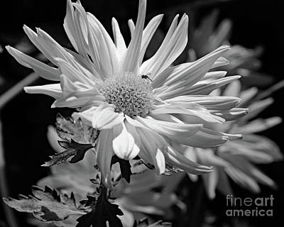 Photograph - Daisy Mum Fly by Mary Haber
