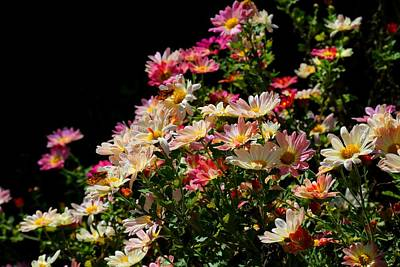 Photograph - Daisy Mums And Skippers by Kathryn Meyer