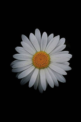 Photograph - Daisy On Black 03 by Bill Owen
