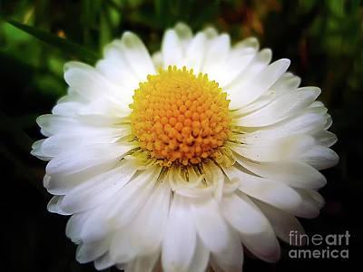 Photograph - Daisy On Sunny Day by Nina Ficur Feenan