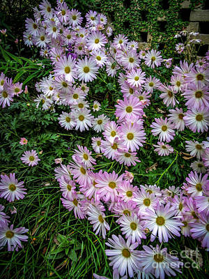 Photograph - Daisy Patch by David Smith