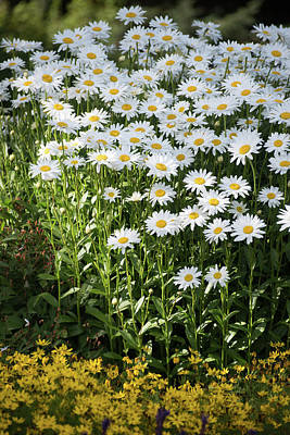 Photograph - Daisy Patch by Keith Boone