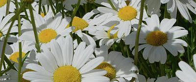 Photograph - Daisy Patch by Whispering Peaks Photography