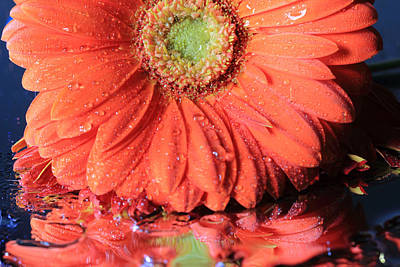 Photograph - Daisy Petals And Reflections by Angela Murdock
