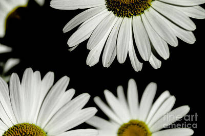 Photograph - Daisy Petals  by William Norton