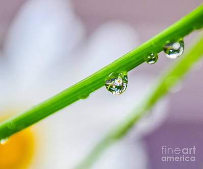 Photograph - Daisy Rain Drop Reflection by Peggy Franz