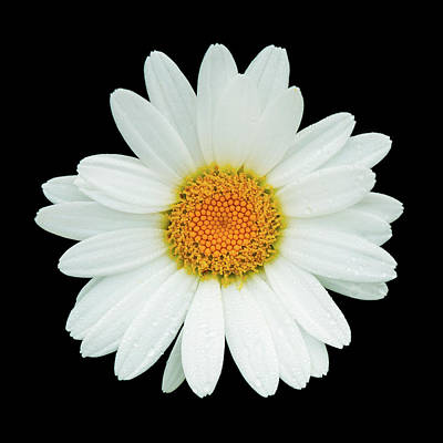 Photograph - Daisy by Ray Kent