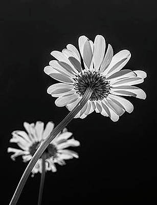 Photograph - Daisy Reaching For The Sun by Garry McMichael