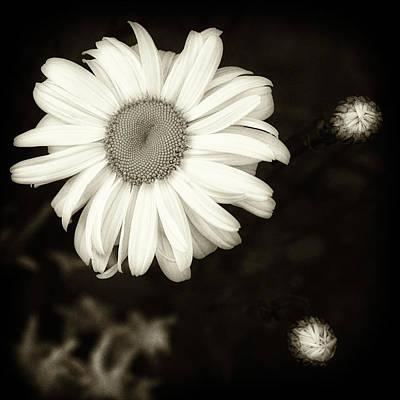 Photograph - Daisy by Richard George