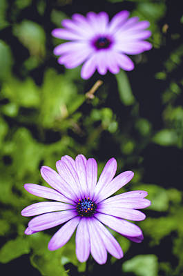 Photograph - Daisy Sparkles by Christi Kraft