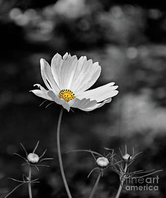 Photograph - Daisy by Susan Warren