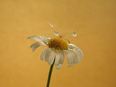 Photograph - Daisy Tears by Barbara St Jean