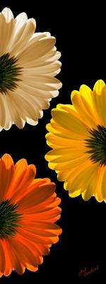 Photograph - Daisy Trio by Judi Quelland
