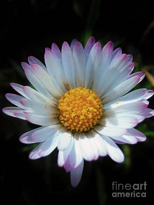 Photograph - Daisy Under Sun by Nina Ficur Feenan
