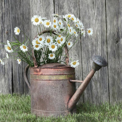 Photograph - Daisy Watering Can by Lori Deiter