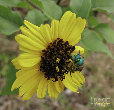 Photograph - Daisy With Blue Bee by Donna Brown