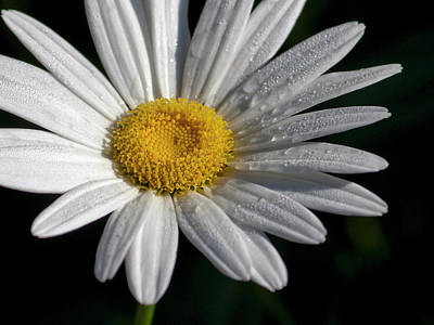 Photograph - Daisy With Dew Drops by Michelle Joseph-Long