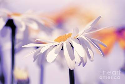 White Daisy Photograph - Daisyday 11b by Variance Collections