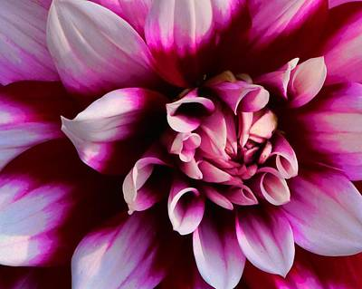 Photograph - Dahlia Passion by Polly Castor