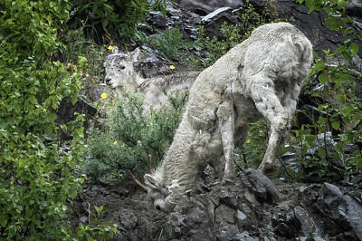 Photograph - Dall Lamb Waiting On Mom by Belinda Greb