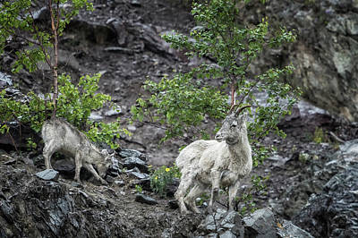 Photograph - Dall Sheep Above Seward Highway, No. 1 by Belinda Greb
