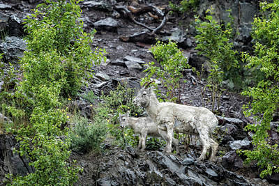 Photograph - Dall Sheep Above Seward Highway, No. 2 by Belinda Greb