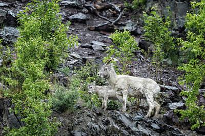 Photograph - Dall Sheep Above Seward Highway, No. 2 by Belinda Greb