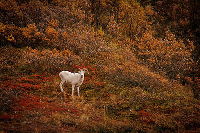 Photograph - Dall Sheep Denali National Park by Benjamin Dahl