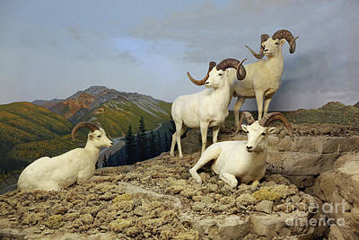 Photograph - Dall Sheep Diorama by Kevin McCarthy