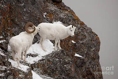 Dall Sheep On A Ledge Art Print by Tim Grams