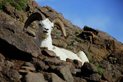 Photograph - Dall Sheep by Rick Berk