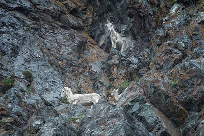 Photograph - Dall Sheep Way Above Seward Highway by Belinda Greb