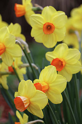 Photograph - Dallas Daffodils 01 by Pamela Critchlow