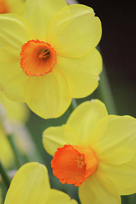 Photograph - Dallas Daffodils 05 by Pamela Critchlow