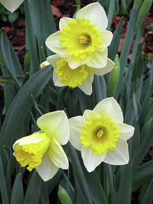 Photograph - Dallas Daffodils 08 by Pamela Critchlow