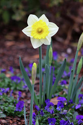 Photograph - Dallas Daffodils 12 by Pamela Critchlow