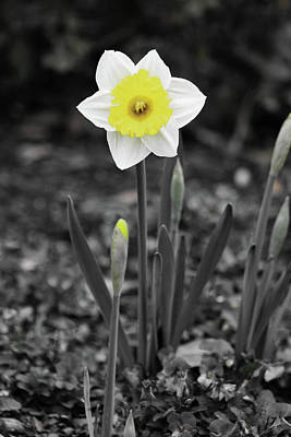 Photograph - Dallas Daffodils 13 by Pamela Critchlow