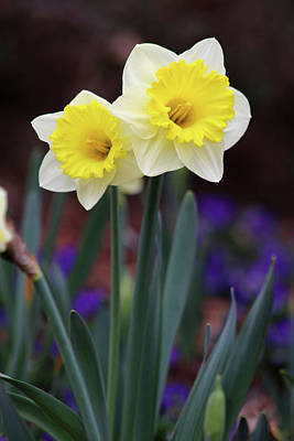 Photograph - Dallas Daffodils 15 by Pamela Critchlow