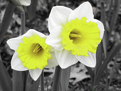 Photograph - Dallas Daffodils 19 by Pamela Critchlow