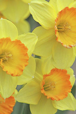 Photograph - Dallas Daffodils 24 by Pamela Critchlow
