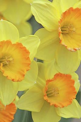 Photograph - Dallas Daffodils 24 by Pamela Critchlow