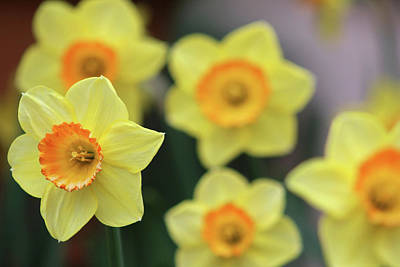 Photograph - Dallas Daffodils 29 by Pamela Critchlow
