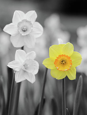 Photograph - Dallas Daffodils 31 by Pamela Critchlow