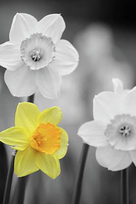 Photograph - Dallas Daffodils 32 by Pamela Critchlow