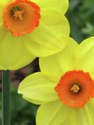Photograph - Dallas Daffodils 36 by Pamela Critchlow