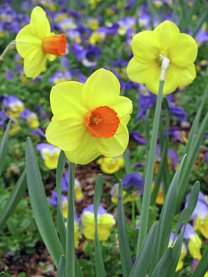 Photograph - Dallas Daffodils 37 by Pamela Critchlow