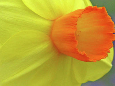 Photograph - Dallas Daffodils 39 by Pamela Critchlow