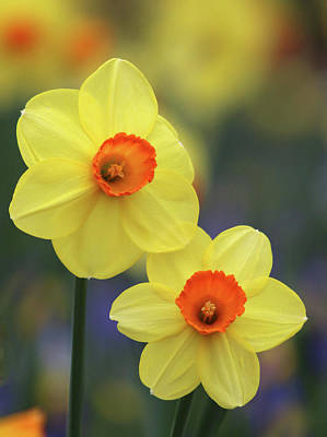 Photograph - Dallas Daffodils 43 by Pamela Critchlow