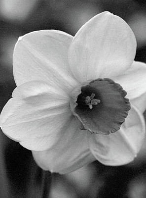 Photograph - Dallas Daffodils 48 by Pamela Critchlow